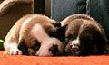 120px-Sleeping_Pups